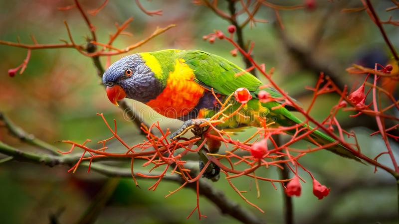 Sitting among the flowersd. A rainbow lorikeet in the flowers of an illawara flame tree with more birds visible in the background royalty free stock photography