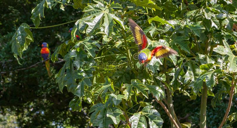 Rainbow lorikeet flying away from Illawarra flame tree. Brachychiton Acerifolius - with other lorikeets in the background royalty free stock images