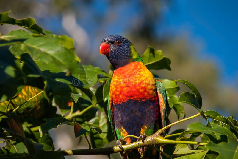 Rainbow lorikeet in an Illawarra Flame Tree. Rainbow lorikeet in the leaves of the Illawarra Flame Tree - Brachychiton Acerifolius - with gum trees in the royalty free stock image