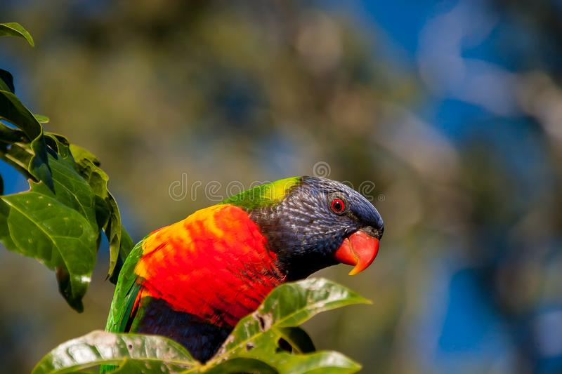 Rainbow lorikeet in the leaves of an Illawarra Flame Tree. Rainbow lorikeet in the leaves of the Illawarra Flame Tree - Brachychiton Acerifolius - with gum trees royalty free stock photography