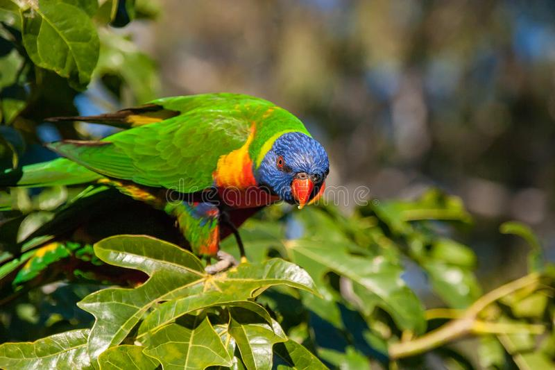 Rainbow lorikeet perched in the leaves of the Illawarra Flame Tree. Rainbow lorikeet in the leaves of the Illawarra Flame Tree Brachychiton Acerifolius with gum stock image
