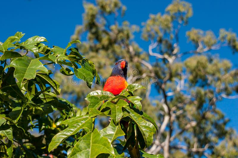 Rainbow lorikeet perched in an Illawarra Flame Tree. Rainbow lorikeet in the leaves of the Illawarra Flame Tree - Brachychiton Acerifolius - with gum trees in royalty free stock photos
