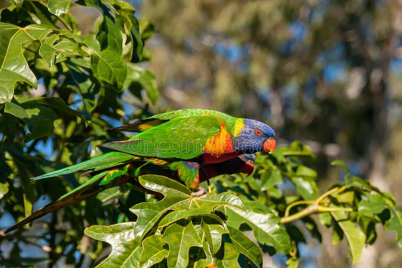 Rainbow lorikeet in the leaves of the Illawarra Flame Tree. & x28;Brachychiton Acerifolius& x29; watching what is happening below royalty free stock images