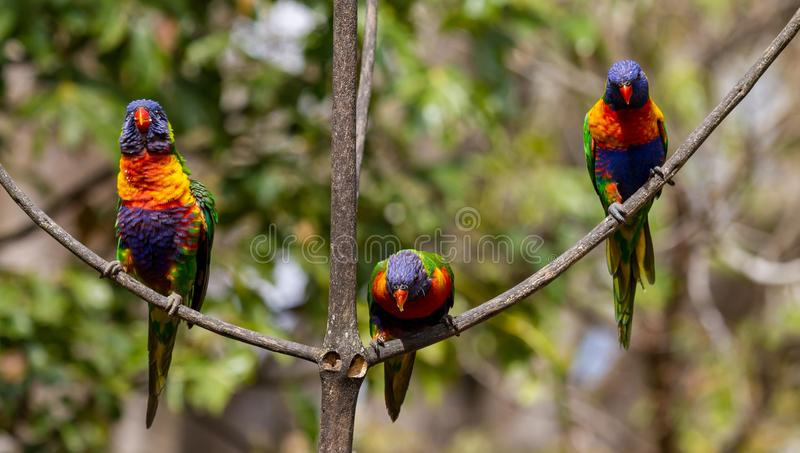 Rainbow lorikeet in the leaves of an Illawarra Flame Tree. Rainbow lorikeet in the leaves of the Illawarra Flame Tree - Brachychiton Acerifolius - with gum trees royalty free stock photos
