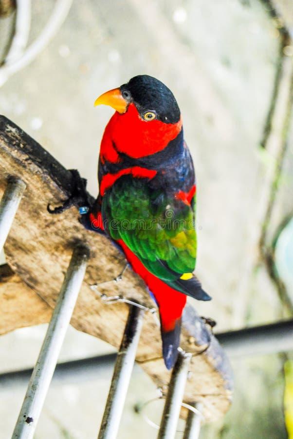 Rainbow lorikeet parrot royalty free stock images