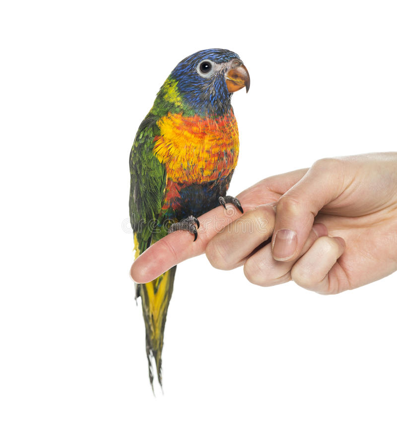 Rainbow Lorikeet perched on a finger stock images
