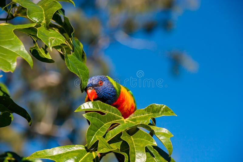 Rainbow lorikeet perched in an Illawarra Flame Tree 2. Rainbow lorikeet in the leaves of the Illawarra Flame Tree - Brachychiton Acerifolius - with gum trees in royalty free stock photos