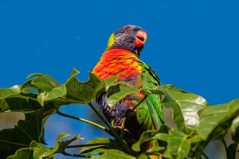 Rainbow lorikeet perched in an Illawarra Flame Tree 3. Rainbow lorikeet in the leaves of the Illawarra Flame Tree - Brachychiton Acerifolius - with gum trees in stock photos