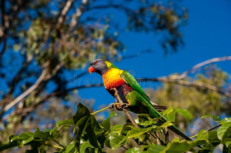 Rainbow lorikeet perched in an Illawarra Flame Tree 4. Rainbow lorikeet in the leaves of the Illawarra Flame Tree - Brachychiton Acerifolius - with gum trees in royalty free stock photography