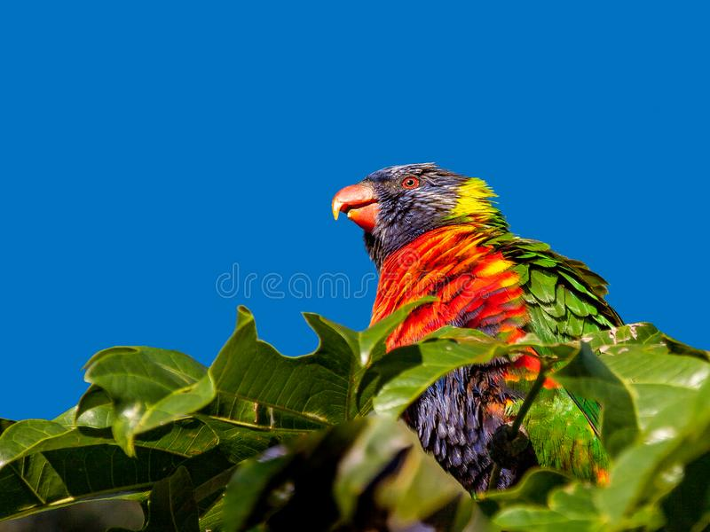 Rainbow lorikeet perched on top of an Illawarra Flame Tree. Rainbow lorikeet in the leaves of the Illawarra Flame Tree Brachychiton Acerifolius with gum trees in stock images