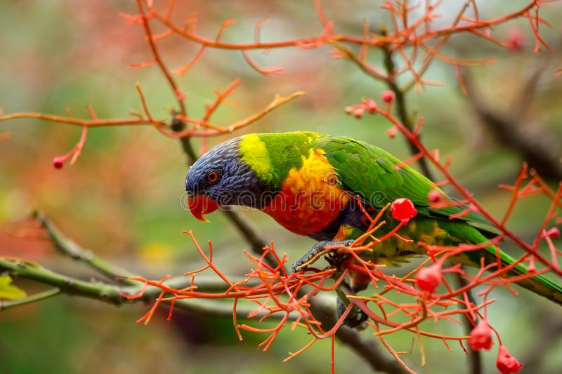 An eye on the game. A rainbow lorikeet sitting the the flowers of an illawarra flame trees, keeping a watchful eye on what is happening below stock photography