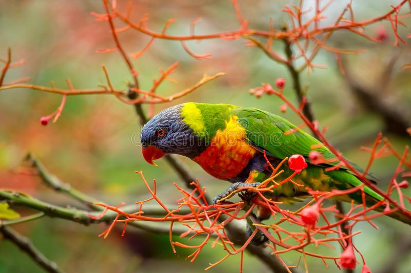 Ready for action. A rainbow lorikeet sitting the the flowers of an illawarra flame trees, keeping a watchful eye on what is happening below royalty free stock photo