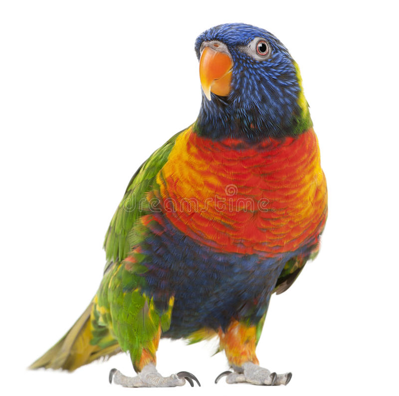 Free Rainbow Lorikeet, Trichoglossus Haematodus Royalty Free Stock Photos - 17000868