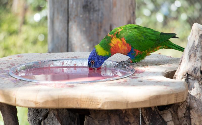 The rainbow lorikeet Trichoglossus haematodus moluccanus inside aviary. Colorful parrots drink from bowl royalty free stock images