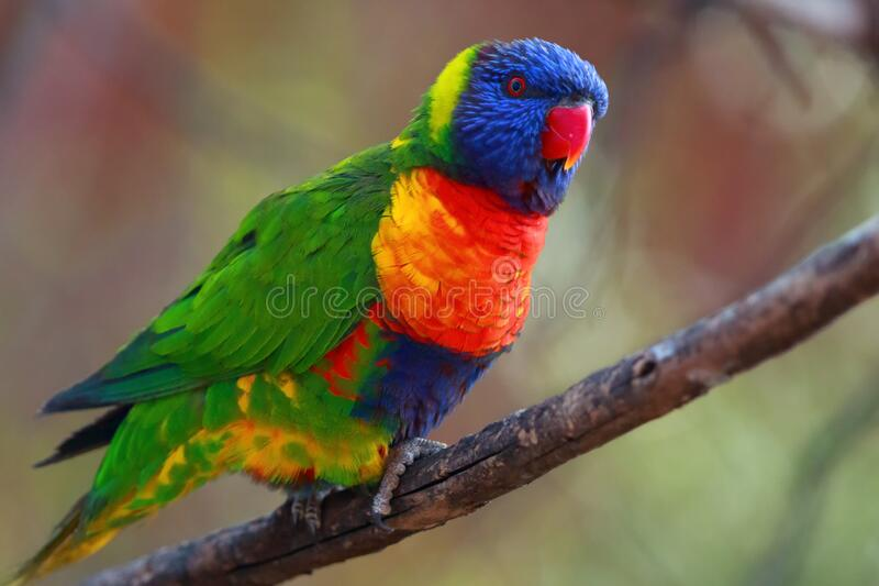 The rainbow lorikeet ,Trichoglossus moluccanus, sitting on the branch. Extremely colored parrot on a branch with a colorful. The rainbow lorikeet Trichoglossus royalty free stock photo