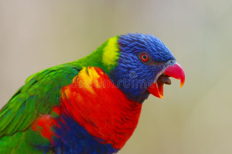 The rainbow lorikeet ,Trichoglossus moluccanus, sitting on the branch with open beak. Extremely colored parrot on a branch with a. The rainbow lorikeet royalty free stock image