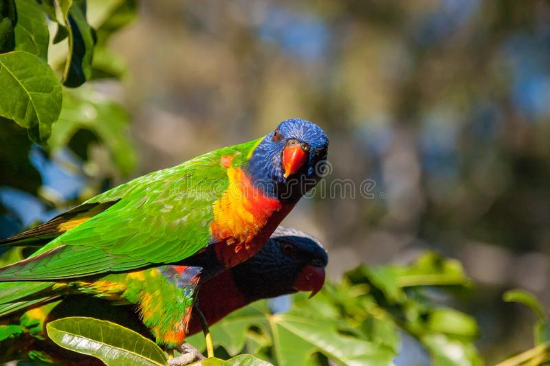 Rainbow lorikeet waiting in tree tops. & x28;the illawarra flame tree brachychiton acerifolius& x29; looking over its shoulder waiting for something stock images