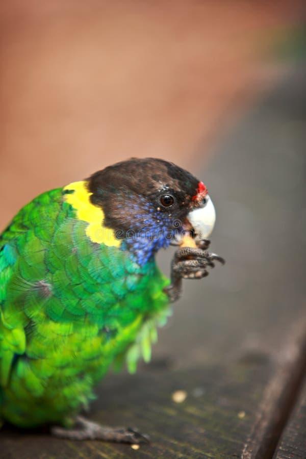 Download Rainbow Lorikeet,West Australia Stock Photo - Image: 25926072