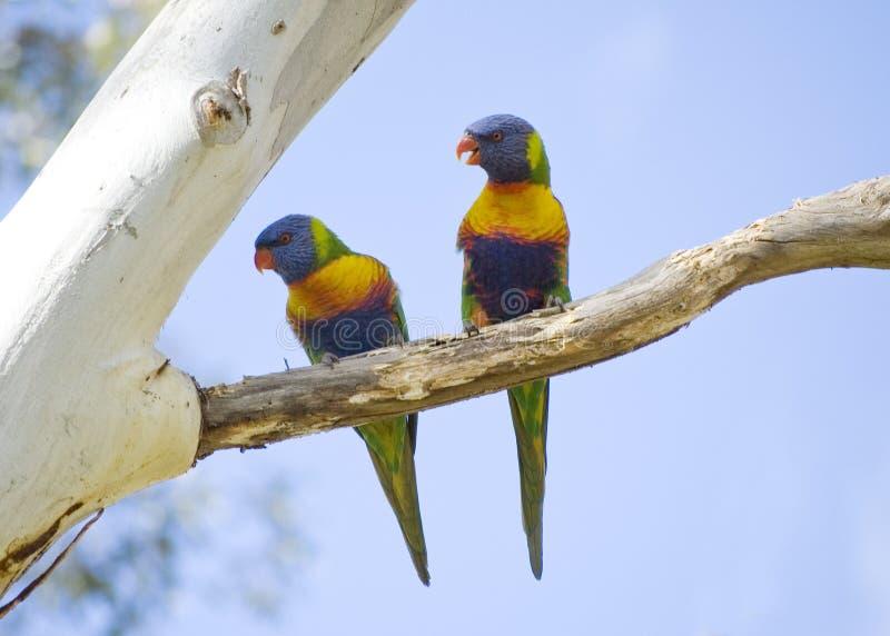 Rainbow Lorikeets fotografia stock