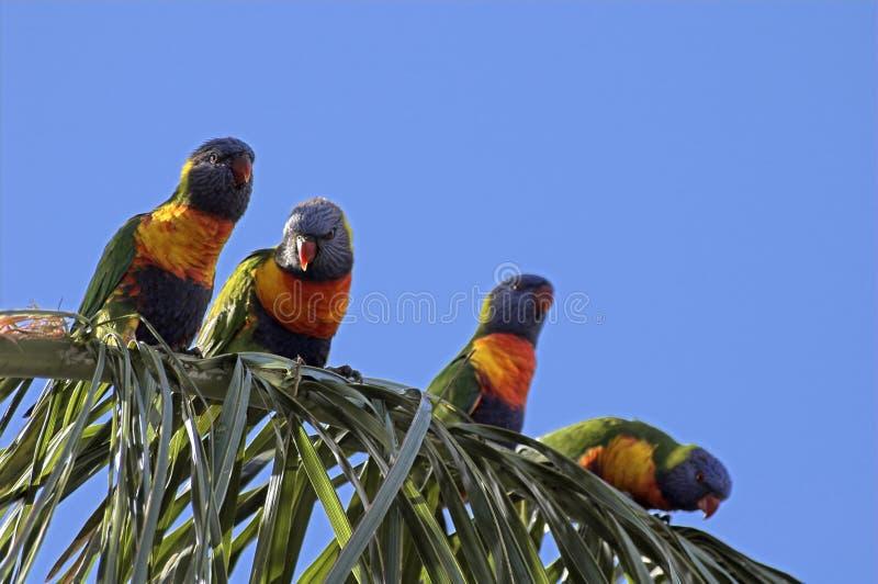Rainbow Lorikeets stock photos