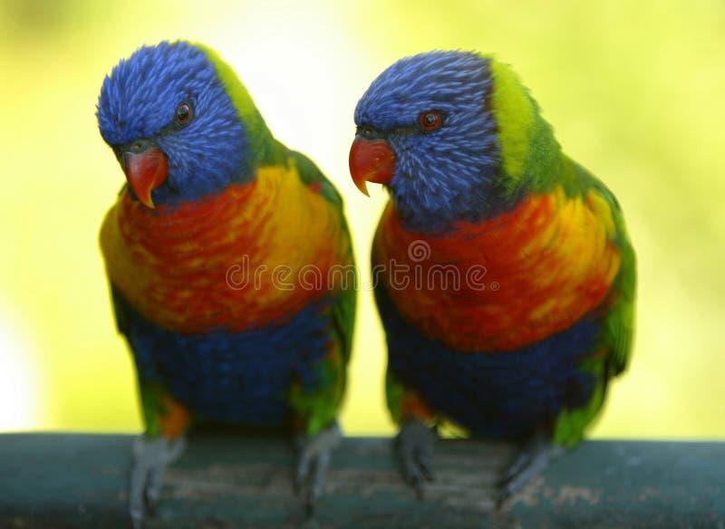 Rainbow Lorikeets royalty free stock image