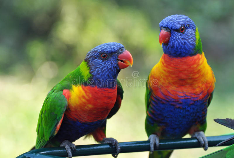 Colorful Rainbow Lorikeets Gold Coast Australia. A pair of Rainbow Lorikeets, Australias vividly coloured bird. Also an Australian icon and its image can be seen royalty free stock images