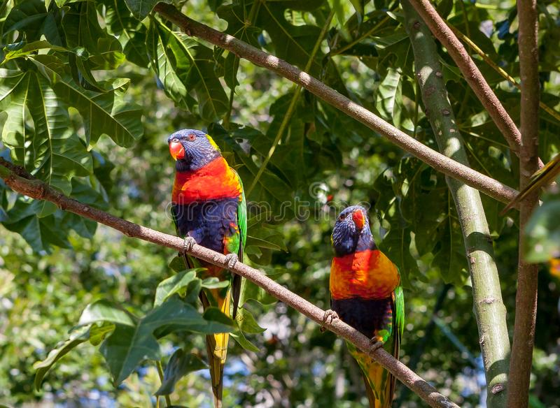 Rainbow lorikeets perched on a branch. Two rainbow lorikeets sitting on a branch of an Illawarra Flame Tree royalty free stock image