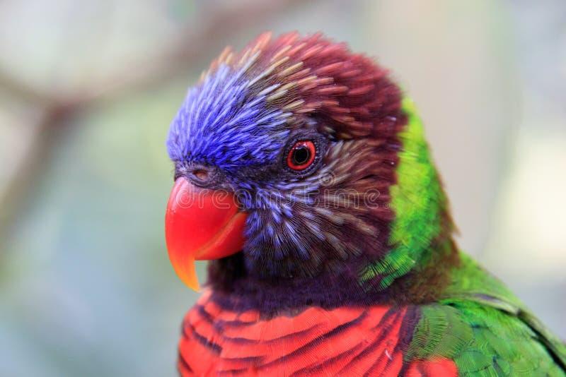 Rainbow Loriket staring stock foto's