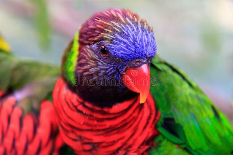 Rainbow Loriket staring royalty-vrije stock afbeelding