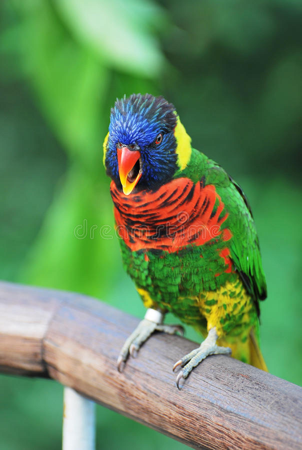 Download Rainbow Lory stock photo. Image of adorable, captivity - 14155102