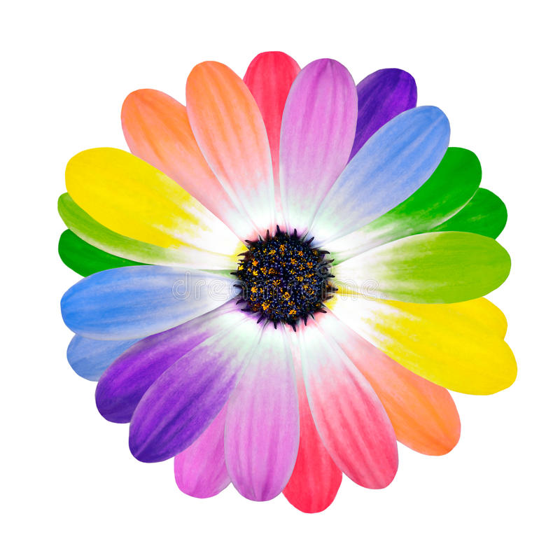 Rainbow Multi Colored Petals Of Daisy Flower Stock Image