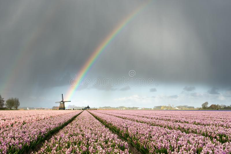 Rainbow over windmill and flower fields royalty free stock image
