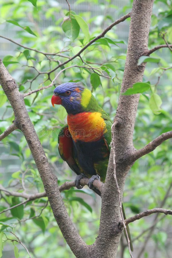 Free Rainbow Parrot Lori On A Rainforest Branch Royalty Free Stock Images - 5699799