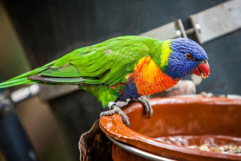 Download Rainbow parrot stock image. Image of beak, macro, close - 31284277