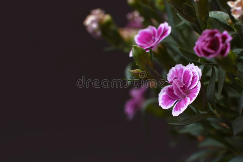 `Rainbow Pink` or `Dianthus Chinensis` flowes with copy space to the left on dark background stock image