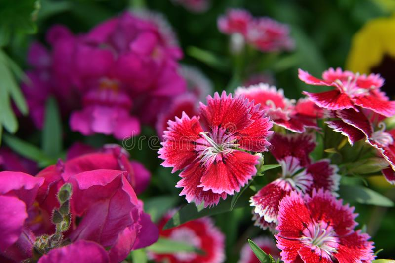 Rainbow pink Dianthus chinensis royalty free stock image
