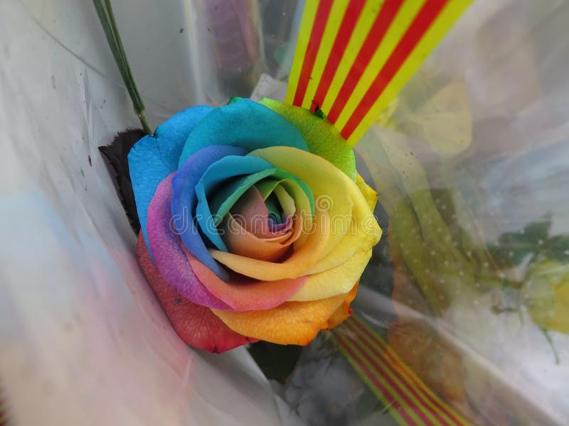 Rainbow rose, dicht stock fotografie