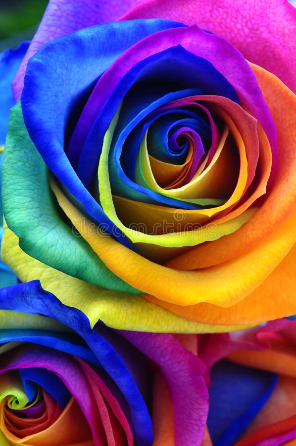Rainbow rose or happy flower royalty free stock photo