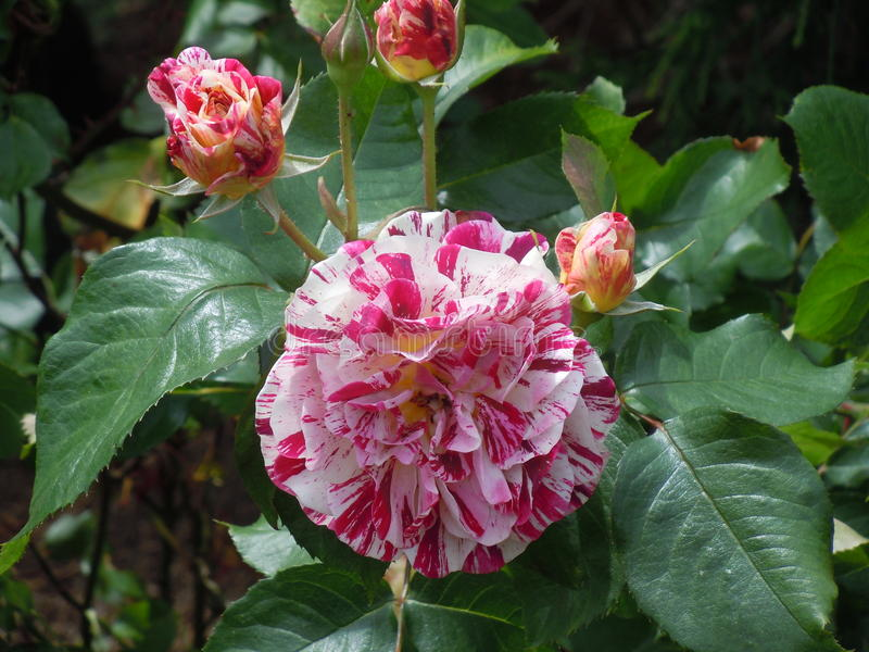 Rainbow Rose royalty free stock photos