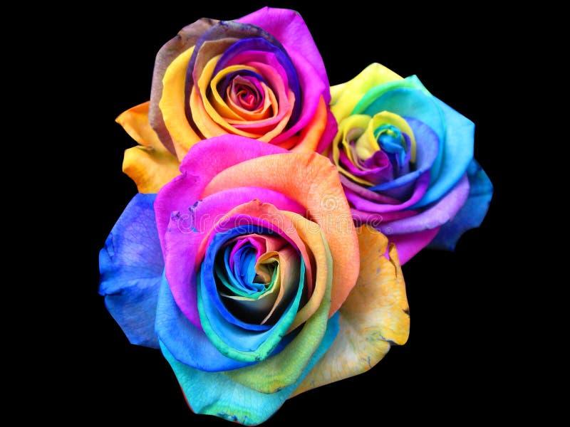 Rainbow roses stock photos