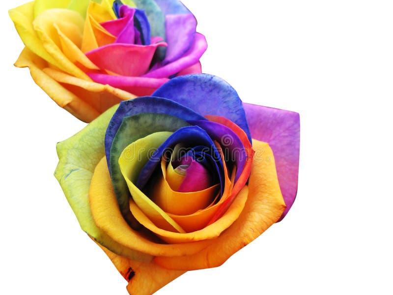 Rainbow roses stock photo