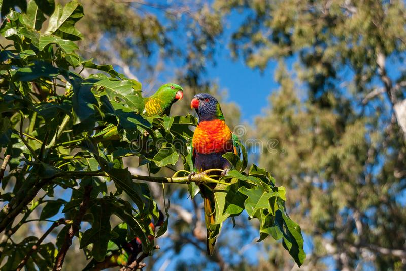 Rainbow and scaly-brested lorikeets in an Illawarra Flame Tree. Rainbow lorikeet in the leaves of the Illawarra Flame Tree - Brachychiton Acerifolius - with gum stock photos