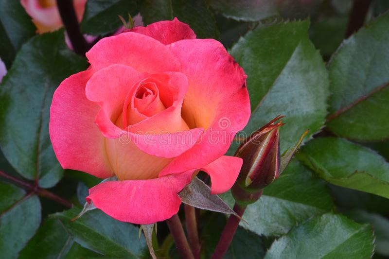 Rainbow Sorbet Flower Rosebud royalty free stock photos