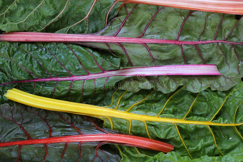 Rainbow Swiss Chard. Colorful rainbow Swiss chard from farmer& x27;s market stock photo