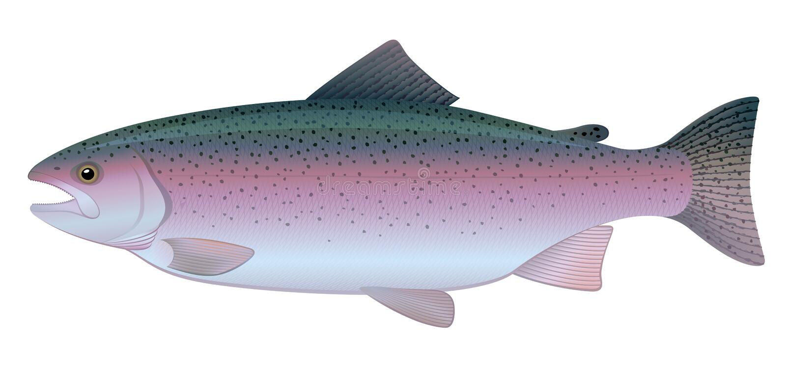 Rainbow Trout. Vector illustration of Rainbow Trout, freshwater fish. Full compatible. Created with gradients vector illustration