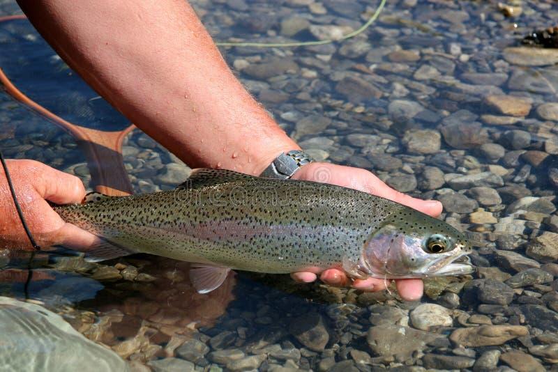 Rainbow Trout stock photos