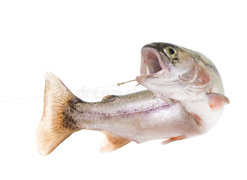 Rainbow trout on a hook royalty free stock photo