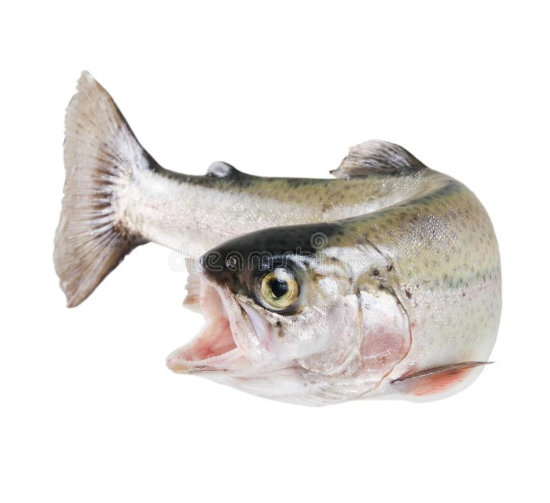 Rainbow trout isolated royalty free stock image