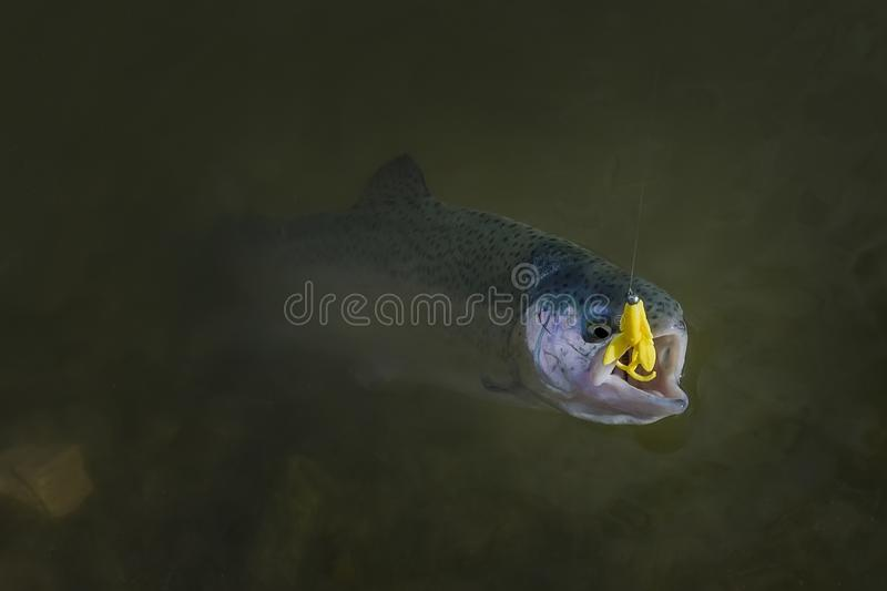 Rainbow trout salmon fish caught in water. Area fishing background stock photos