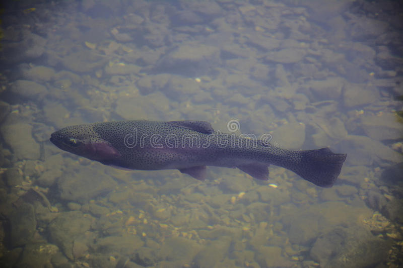 Rainbow Trout in Stream royalty free stock image